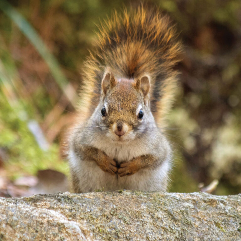 Picture of squirrel looking at the viewer. Photo by